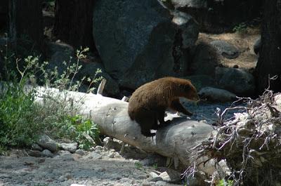 fdaba-sequoia_lodgepole_4