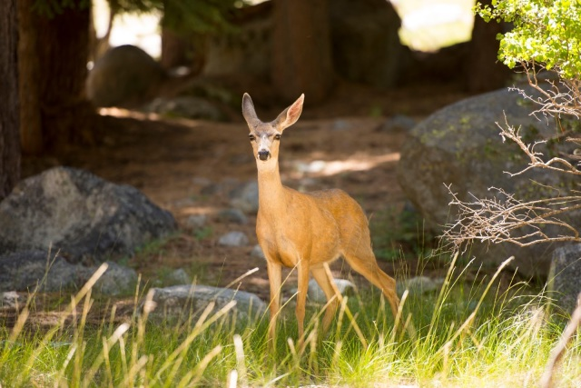 Deer in Sequoia
