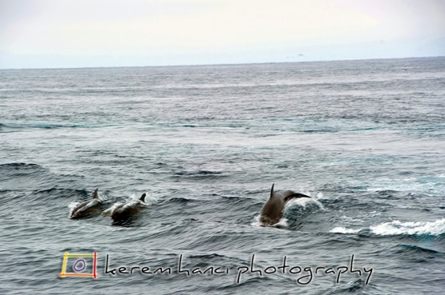 Channel Island Dolphins