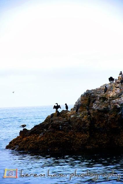 Channel Island Birds